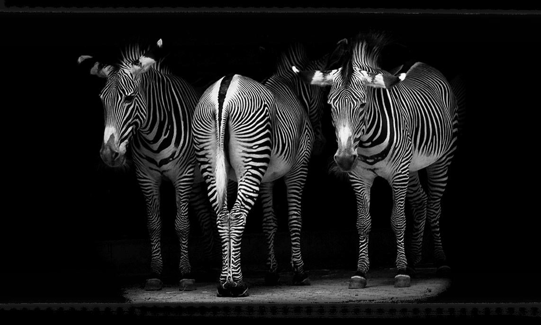 04_Zebras