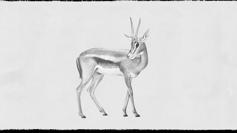 07_Gazelle