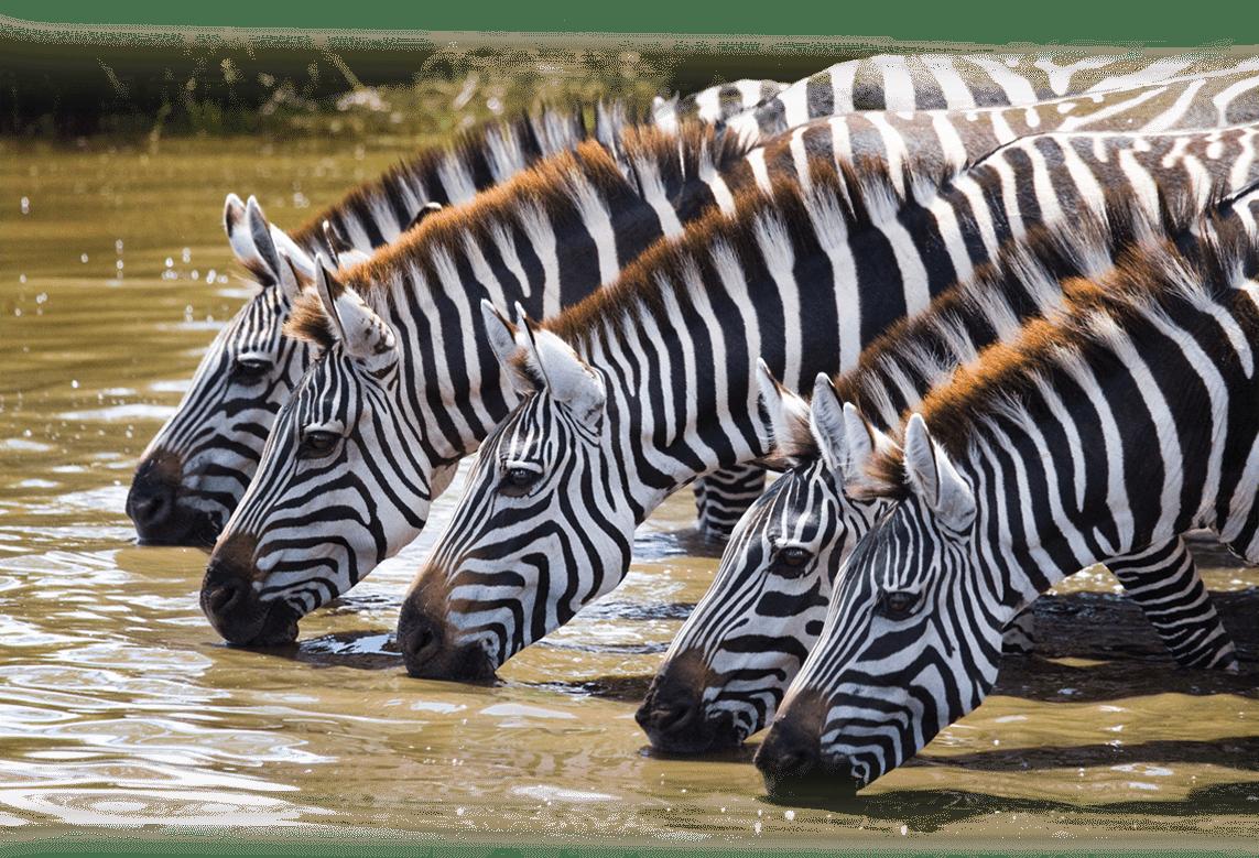 24_zebras